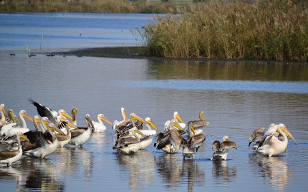 The spot-billed pelican or gray pelican is a member of the pelican family.