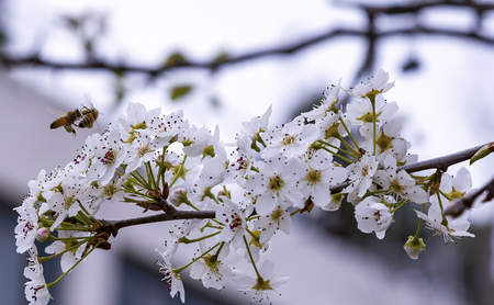 A bee flying over an almond flower Bee on flowering almond tree Stock Photo