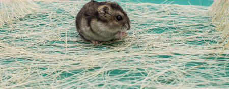 eared: Grey dwarf hamster Gray Hamster macro, stands