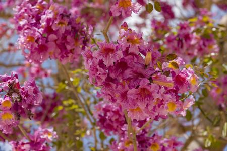 Pink ipe or pink lapacho, Tabebuia avellanedae or Handroanthus impetiginosus, Handroanthus impetiginosus.
