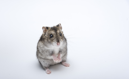 russian hamster: russian hamster in front of white background portrait, hamster,