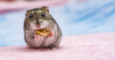 russian hamster in front of white background portrait, hamster,