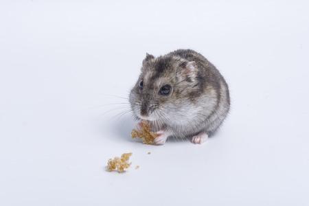 Grijze dwarfhamster Grey Hamster macro, stands