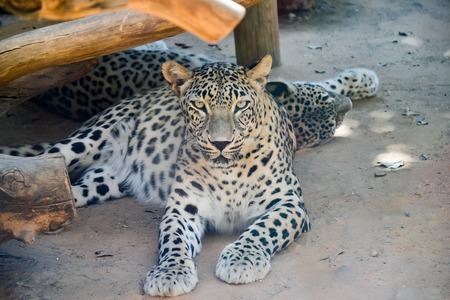Jaguar resting on a beach jaguar, animal Stock Photo