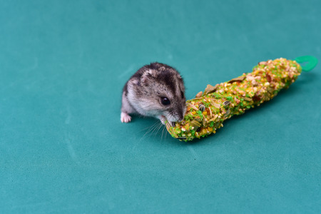 Grey dwarf hamster Gray Hamster macro, stands