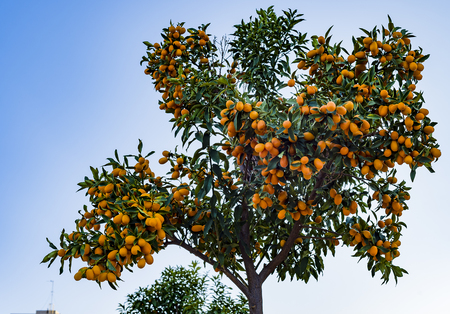 A tree of a small Chinese orange.