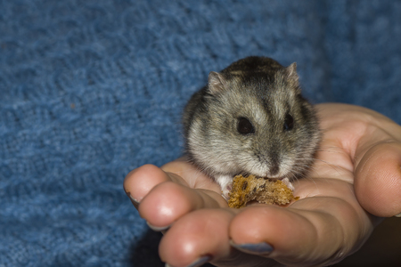 Little hamster in human hands. Macro photo focusing on the eyes of a hamster. Banco de Imagens