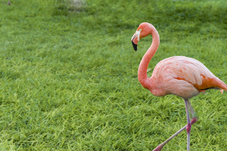 Three beautiful flamingos, two pink flamingos and one white flamingo stand in row together on one leg on green