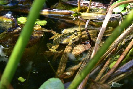 Close up of a green frog in a pond. Green frog