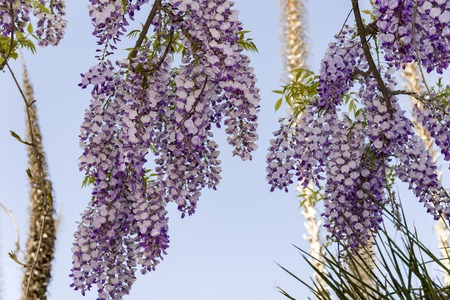 wisteria trellis. great views creepers flowers Banco de Imagens
