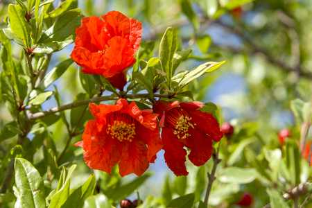 Pomegranate tree flowers pomegranate flowers blooming natural, decoration Banco de Imagens