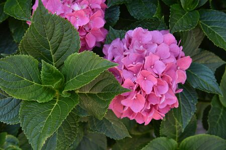 Flowering hortensia plant. Blossoming flowers in summer garden. Pink hydrangea in full bloom. Stock Photo