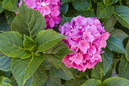 Flowering hortensia plant. Blossoming flowers in summer garden. Pink hydrangea in full bloom. Standard-Bild