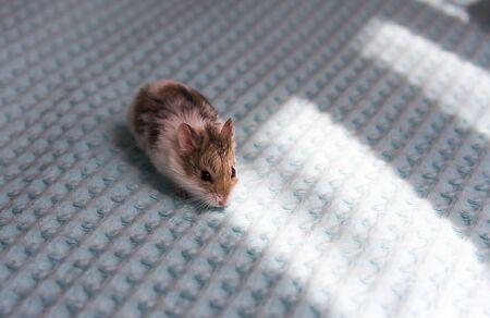 Siberian hamster white and gray eating a White-gray Siberian hamster.