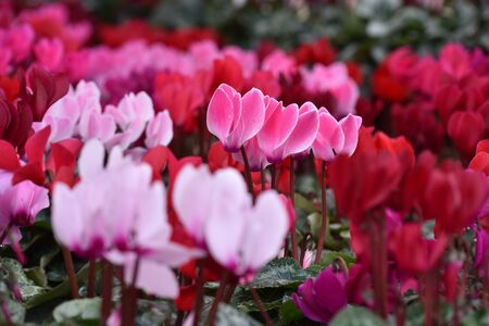 Winter flowers: cyclamen flowers in greenhouse, close-up