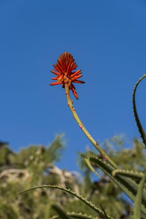 Aloe - flowering succulent plant. Aloe in blooming. Aloe Flower. Flowering buds of Aloe Vera.