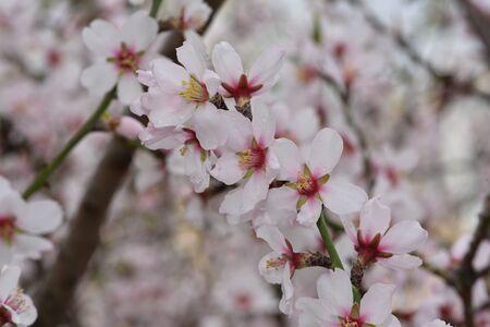 almond blossom flower, background, tree pattern nature