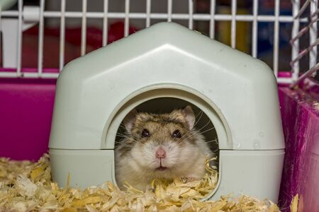 The hamster is a pet of the Winter White breed. face out of the door earthen house's. Gray-white hamster in the house.