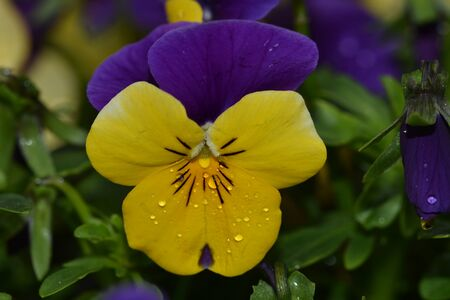 Violet and yellow multicolor Pansies outdoor in nature Yellow violet pansy flower.