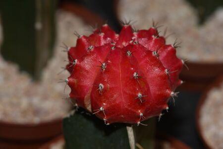 cactus round red. Selective focus Gymnocalycium grafted cactus or moon cactus. Banco de Imagens
