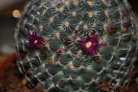 Many pink flowers bloomed on a round cactus. This natural wonder.Round blooming cactus with small flowers.