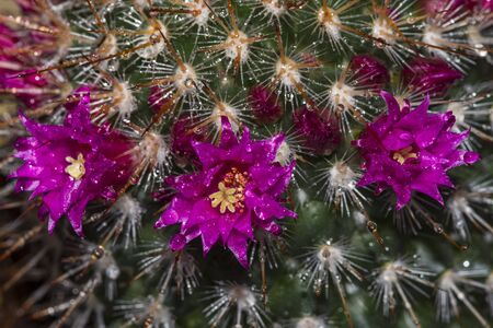 Pink flowers on cactus at green