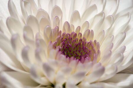 Chrysanthemum Flowers White chrysanthemums macro shot. Beautiful chrysanthemums with lilac pestles.