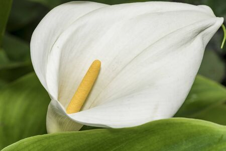 Calla Lily flower, background, wedding calla blossom plant Banco de Imagens