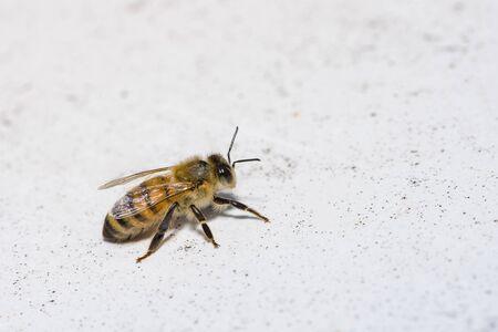 Apis mellifera, European or Western honey bee, Bee on a white background. Banco de Imagens
