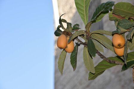 Fruit of loquat - Eriobotrya japonica - has become in Saga prefecture, Without sounds. loquat Reklamní fotografie