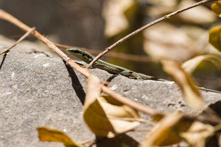Lizard in 2020 A small lizard sunbathes in the sun. Banque d'images