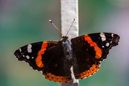Red, black and white butterfly in the forest. Black orange with white butterflies on a metal rod. Banque d'images