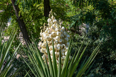 White flowers of yucca plant yucca plant