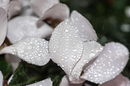 Raindrops on white petals closeup.
