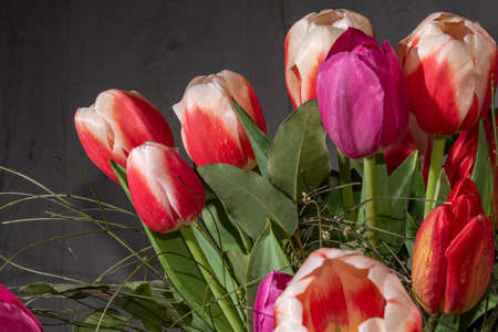 red tulip in the field, tulips red white Banque d'images