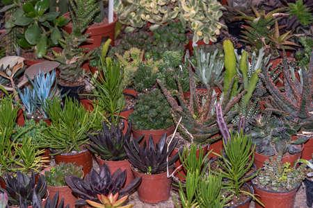Miniature succulent plants. Flowers succulents in pots of different types.