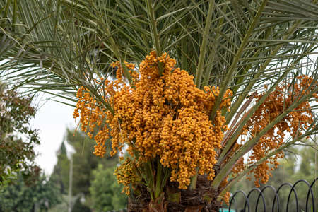 ripen Yellow and brown rutab dates, Yellow dates on the Palm. Banque d'images