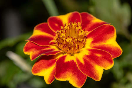 Beautiful Marigold flower in the summer garden. Mix yellow and red flower. Marigold background or tagetes card
