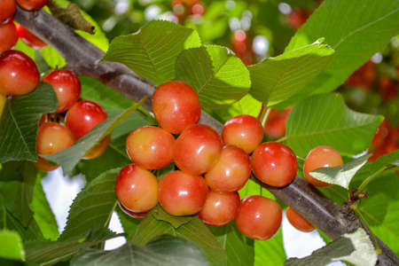 Close up fresh yellow and red cherries on the tree branch. A branch of a yellow ripe sweet cherry. Banque d'images
