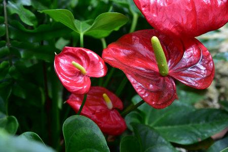 Red anthurium flower close up. flower red feces