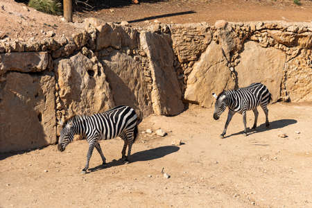 two zebras for a walk, one zebra follows the other
