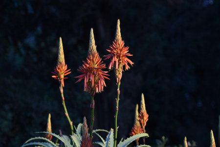 wild aloe plant with blooming flowers. blooming aloe vera