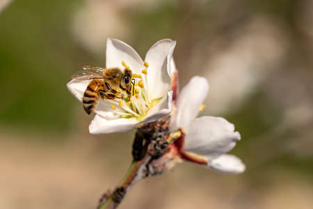 honeybee in almond blossoms. Bee On Almond Blossom