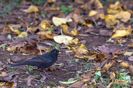 Male Blackbird, Turdus merula. Black-colored bird in its natural habitat on green spring grass