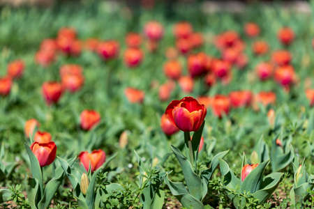Glade of tulips flowers with open buds. Exhibition of flowers in the spring. Romantic background. Red glade of tulip in summer meadow for a romantic design.
