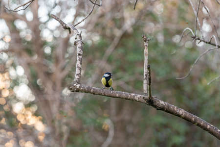 Titmouse on the branch. bird titmouse with a yellow belly