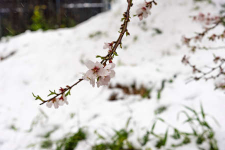 almond tree flowers with old building as a background, snow in Jerusalem, almond flowers on snow background Banque d'images