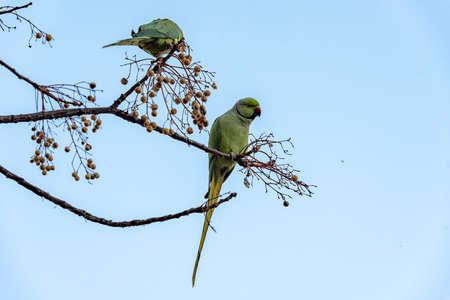 Green bird in the green vegetation. Parrot sitting on branch. in jerusalem