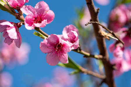 Flowering almond trees against blue sky. pink almond blossoms against the blue sky Banque d'images