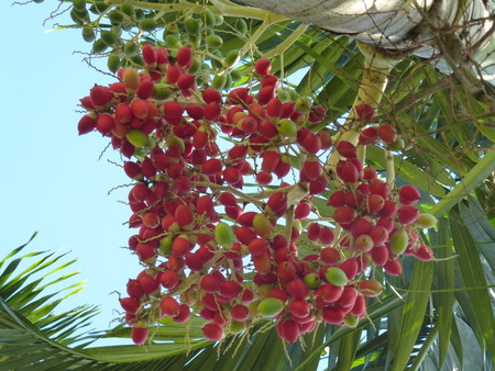 Small red fruits of a palm tree photo